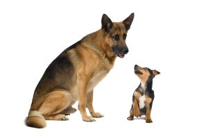 A German Shepard and a Jack Russel next to each other.