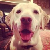 Bella The Munchkinator(Yellow Lab) - closeup of smiling Bella