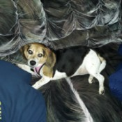 My Beagle is Terrified of Everything - chubby Beagle on gray couch