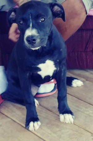 Is My Dog a Full Blooded Pit Bull? - black and white dog