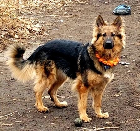 Is My Dog a Purebred German Shepherd?