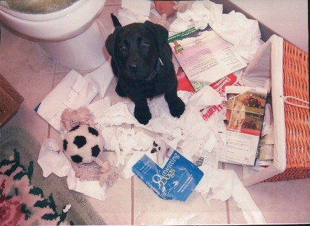 Hannah (Labrador Retriever) - black Lab puppy after dumping trash basket and shredding paper