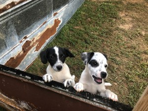 What Breed Are My Puppies? - white and black dogs with freckles in a pen
