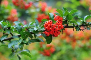 Firethorn berries and leaves.