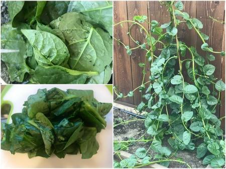 Green Malabar Spinach