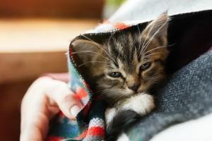 A small kitten in a blanket.