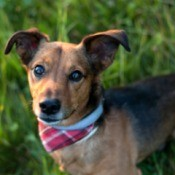A small dachshund/terrier mix dog on a grassy background.