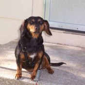 A dachshund mix sitting in front of a door.