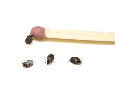 Small black bugs smaller than the tip of a match.