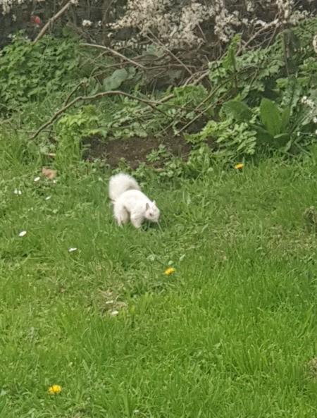 Snow White Squirrel (UK) - white squirrel in grass