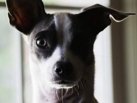 LeRoy (Chihuahua Mix)