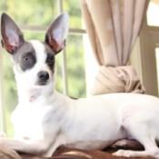 LeRoy (Chihuahua Mix) - gray and white Chihuahua mix