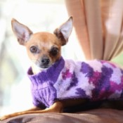 Bella (Chihuahua) - brown dog in a purple and white sweater