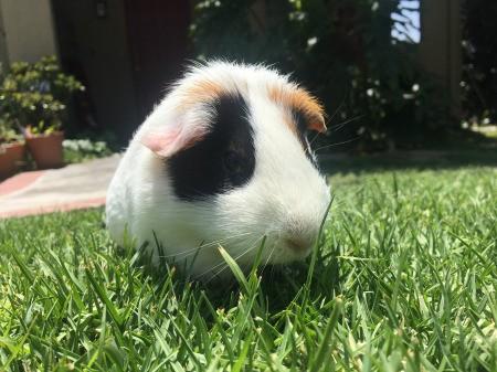 Kisses (Guinea Pig) - tri-color Guinea pig in the grass