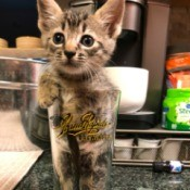 Gaia (Tabby) - kitten in a beer glass