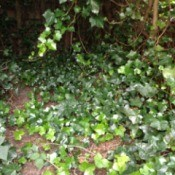 Getting Rid of Ivy - ivy spreading over the ground