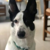 Is This a GSD? - black and white dog with large stand up ears