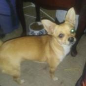 Chug (Chihuahua Pug Cross)