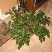 Identifying a Houseplant - dark green crinkly leaf potted plant