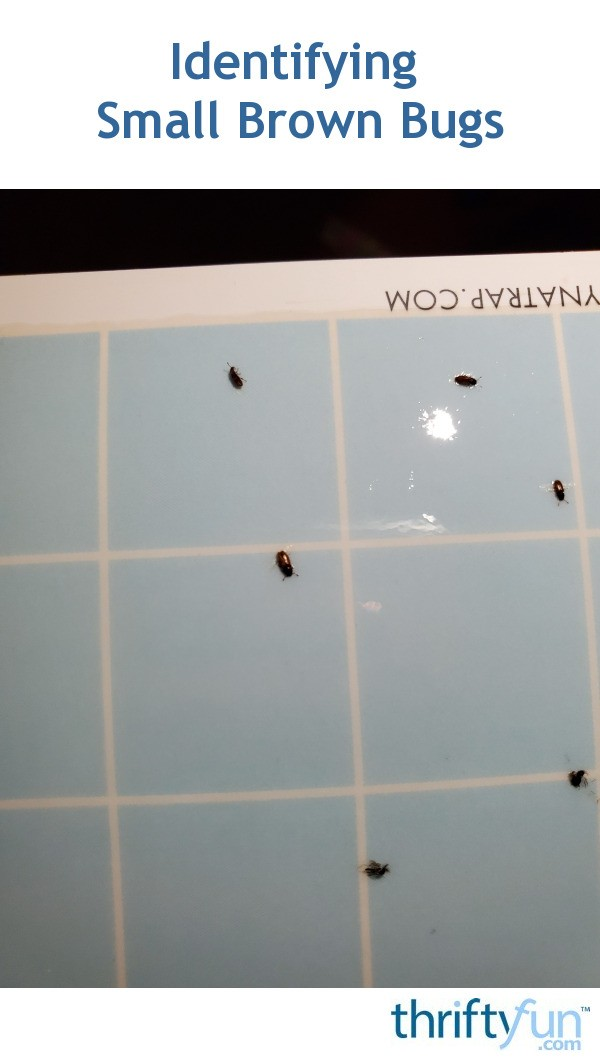i-am-not-sure_Identifying Small Brown Bugs?   ThriftyFun