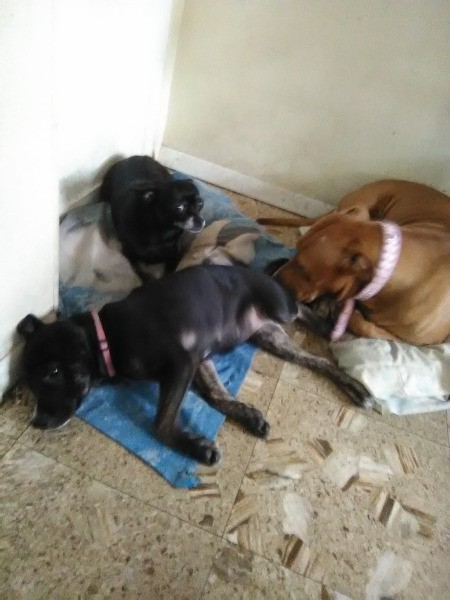 New 3 Month Old Puppy Attacks 6 Year Old Chihuahua - three dogs lying on the floor