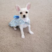 What Is My Chihuahua Mixed With? - white puppy in a blue and white dress