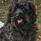 Abby (Terra-Poo) - black curly haired dog