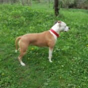 Is My Dog a Full Blooded Pit Bull? - side view of a brown and white Pit Bull standing outside