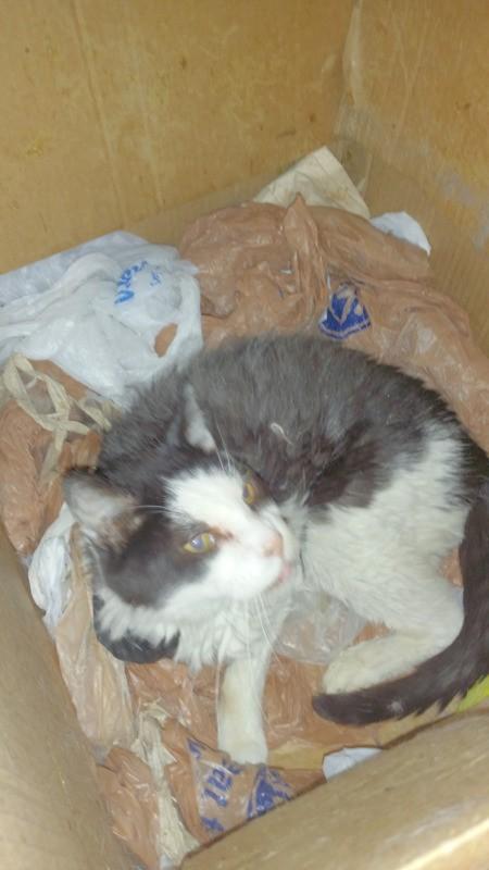 Ollie (Domestic Short Hair) - cat lying a box of plastic bags