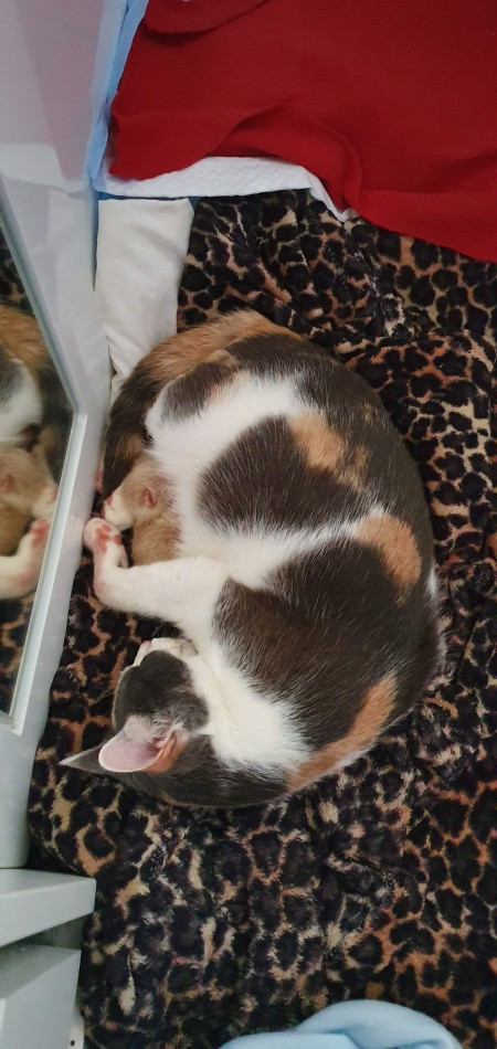Caring for a Mother Cat and Her Kitten - calico cat and kitten