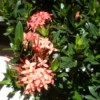 Identifying a Garden Plant - shrub with dark green leaves and salmon pink flowers