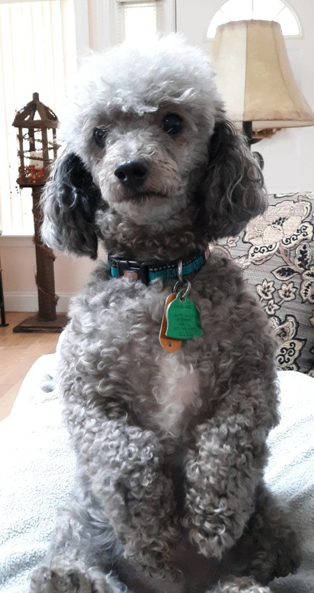 Peppy (Miniature Poodle) - gray Poodle sitting up