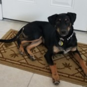 House Trained Puppy Still Pees and Poops Inside - black and brown dog on floor mat