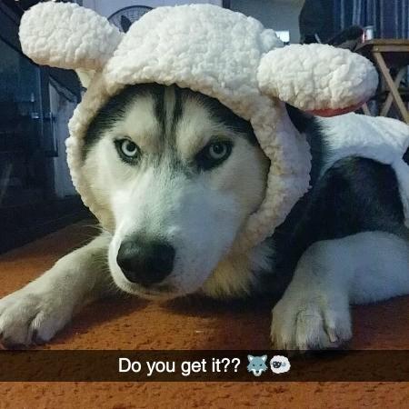 Shasta (Siberian Husky) - wearing a sheep's hat