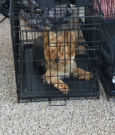 Levi Russell (Yorkie/Poodle) - Levi in his crate
