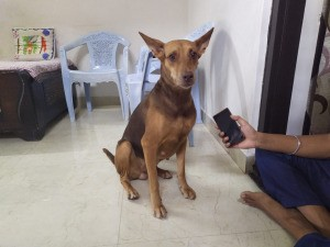 What Breed Is My Dog? - dark brown and black dog with large ears