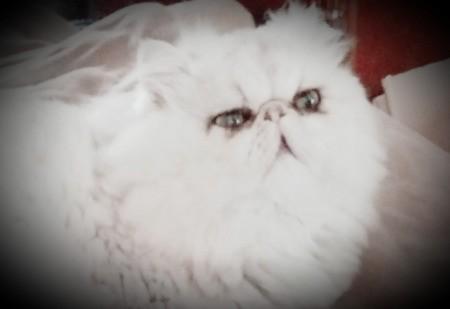 Bradley (Persian) - very fluffy white Persian cat