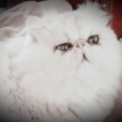 Bradley (Persian) - very fluffy white Persian cat