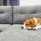 A dog sleeping on a grey sectional.