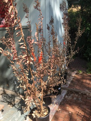 Potted Crepe Myrtle Trees Flowers and Leaves Dying - sad looking trees