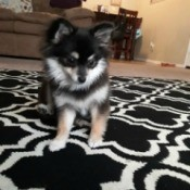 Pomeranian Puppies' Hair Seems Too Short  Hair - tri-colored Pom on the carpet