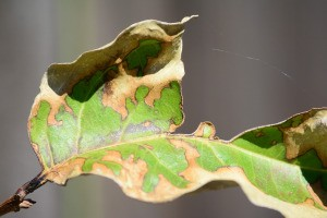 A brown crepe myrtle leaf.