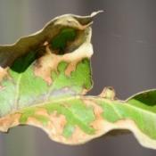 A brown crepe myrtle leaf.