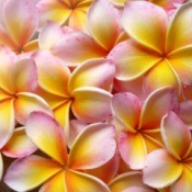 Pink and yellow plumeria blossoms.