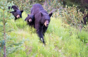 A family of black bears walking through the forest.
