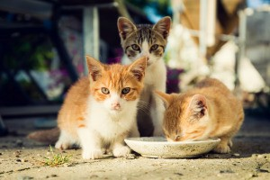 Three kittens drinking from a dish.