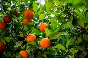 An orange tree with oranges and green leaves.
