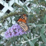 Butterfly on Butterfly Bush - butterfly on flower
