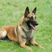 A Belgian Malinois lying on the grass.
