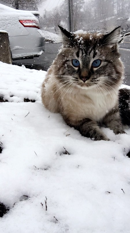 Louis (Ragdoll) - cat in the snow